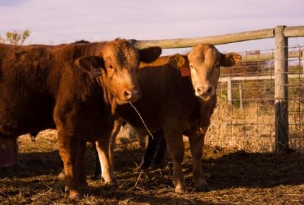University Farm Cattle Program