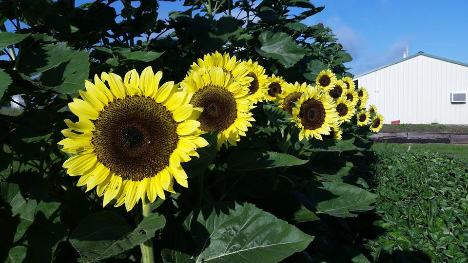 Sunflowers at Thousand Hills Farm